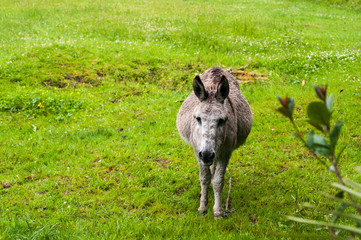A pregnant donkey walks in a pasture