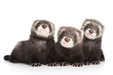 Wall Mural - Three polecat puppy posing on white background