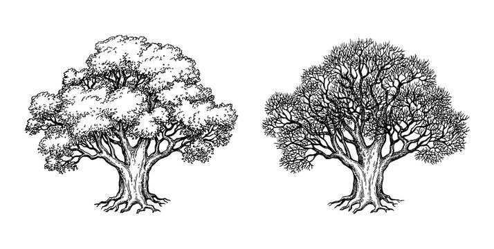Ink sketch of oak tree.