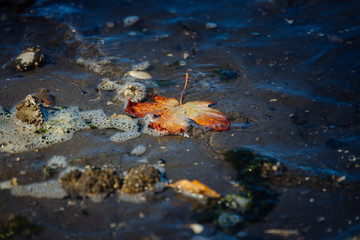 An orange maple leaf in the water washed up on the rocky seashore with dynamic lighting