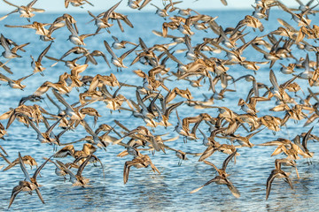 Fling of sandpipers