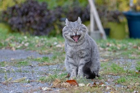 Cat sneezing and yawning