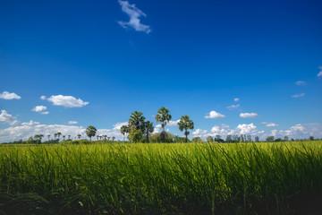 Beautiful rice field nature landscape.