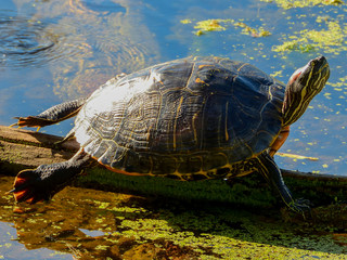 Wall Mural - Red-eared Slider in Brazos Bend State Park