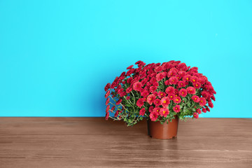 Beautiful potted chrysanthemum flowers on table against color background. Space for text