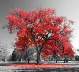 Keuken foto achterwand Grijs Big Red Tree in surreal black and white landscape scene