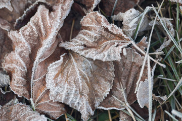 dried leaves covered with hoarfrost on ground
