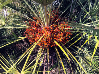 Tropical palm tree with orange fruits