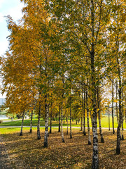 Yellow autumn leaves on trees in park