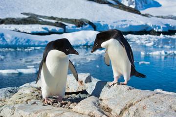 Adelie penguins on Antarctica