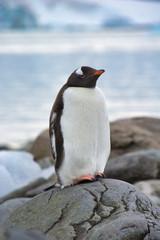 Gentoo penguin close up