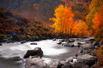 Printed kitchen splashbacks Forest river River and yellow trees in autumn forest in Altai, Siberia, Russia.