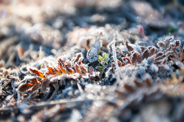 Hoarfrost on the plants in autumn forest. Macro image, shallow depth of field.
