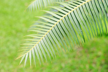 Green leaves of gum palm or giant dioon (Dioon spinulosum Dyer) the tropical cycad palm plant on green garden