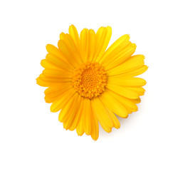 one marigold flower head isolated on white background. calendula flower. top view