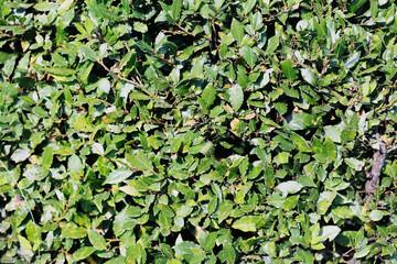 текстура кроны зеленого куста