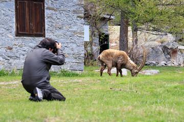 un fotografo inquadra uno stambecco nel parco nazionale del Gran Paradiso