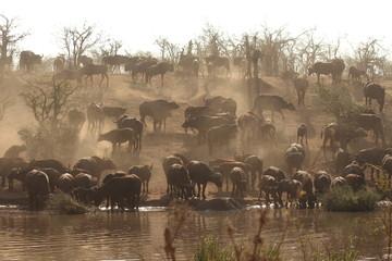 Group of buffaloes
