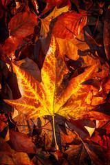 Autumnal leaf in sharp relief
