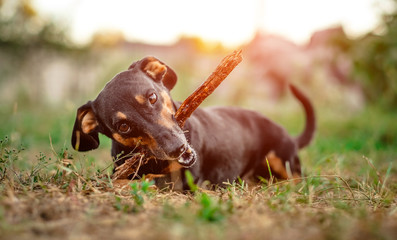 Playful black-brown dachshund nibbling a stick