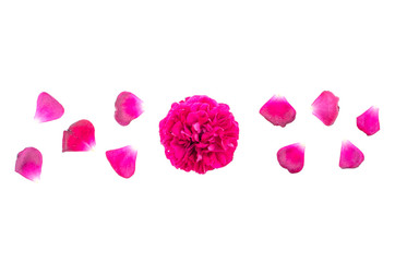 Petals and head of dark pink rose on white background