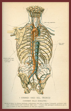 Vintage color table of anatomy, abdomen large blood vessels with skeleton, Italian anatomical descriptions