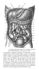 Vintage illustration of anatomy, human abdominal organs with  Italian anatomical descriptions