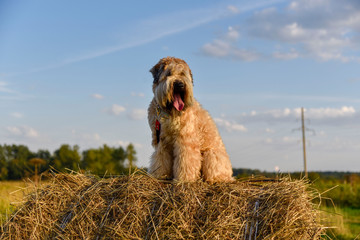A dog outdoors in the summer  Irish wheaten Terrier