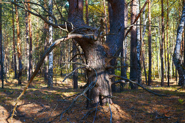 Tree with dry branches in dense pine forest close up. Forest conservation area. Natural Park.