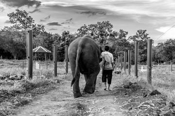 Un homme marche aux côtés d'un éléphant, de dos. Photo en noir et blanc