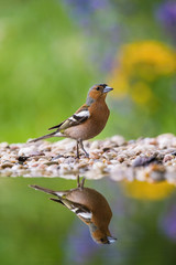 The Common Chaffinch or Fringilla coelebs is sitting at the waterhole in the forest Reflecting on the surface Preparing for the bath Colorful backgound with some flower..