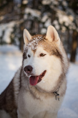 Close-up portrait of cute Beige and White Siberian husky dog is on the snow in the winter forest