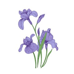 Detailed drawing of spring iris flowers and buds