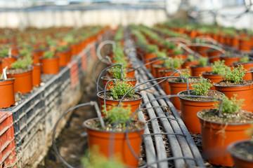 Oregano seedlings in greenhouse