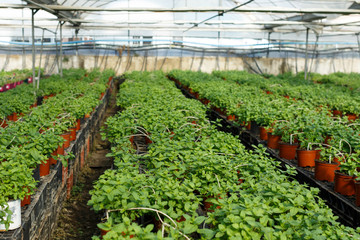 Seedlings of mint growing in hothouse