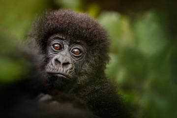 Wild mountain gorilla in the nature habitat. Very rare and endangered animal close up. African wildlife.Big and charismatic creature. Mountain gorillas. Gorilla beringei beringei.
