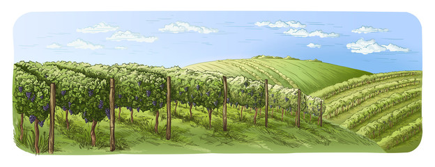 Photo sur Plexiglas Pistache colorfull vine plantation hills, trees, clouds on the horizon vector illustration
