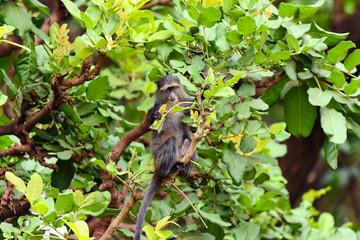 Blue Monkey (Cercopithecus mitis) eating leaves, Lake Manyara National Park, Tanzania