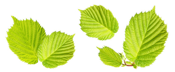 Hazelnuts leaves isolated on white background. Collection.