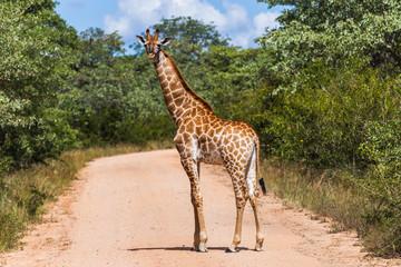 Giraffe, Kruger-Nationalpark