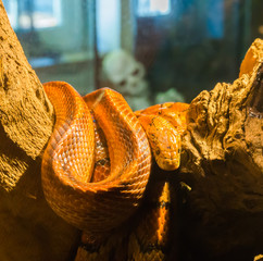 red orange corn rat snake on a branch in the terrarium with a creepy skeleton in the background