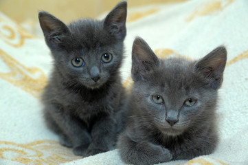 two little gray kittens