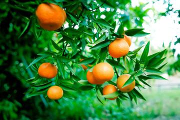 ripe oranges on a branch in the garden