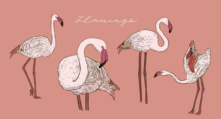 Flamingo vector illustration.