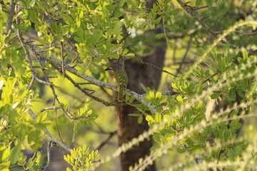 Orange-breasted bushshrike in South Africa
