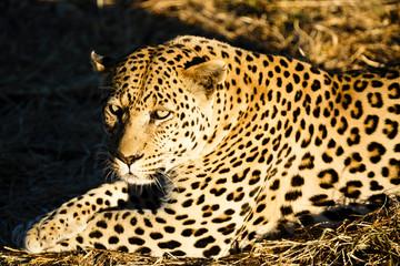 Leopard (Panthera pardus), Tierportrait, liegt im Gras