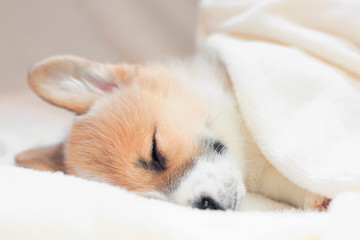 cute little puppy sweetly sleeping in a white bed under a blanket stretching legs
