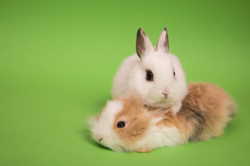 Two small rabbits