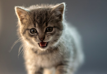 Cute gray kitten close up photo with emotion. Portrait, shallow dof.