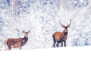 Wall Mural -  Beautiful male and female noble deer in the snowy white forest. Artistic Christmas winter image. Winter wonderland.